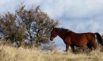 Beypazarı'nda yılkı atları görüntülendi