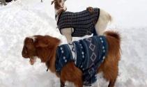 Yağan kar keçilere kazak giydirtti