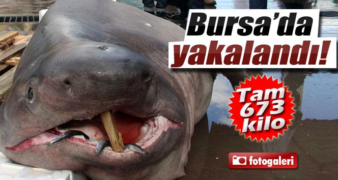 Bursa'da balıkçıların ağına 673 kiloluk 'Jaws' takıldı
