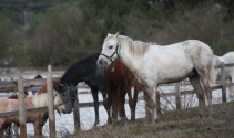 Manavgat'ta sel, hayvanları telef etti