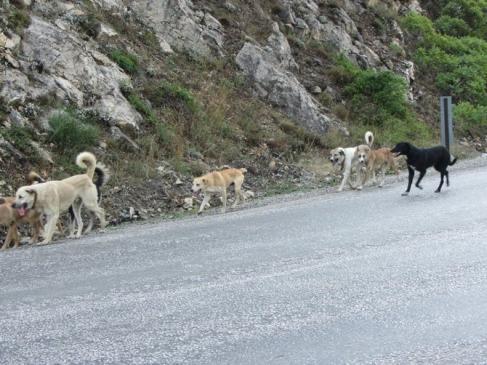 Başı Boş Köpekler Tehlike Saçıyor